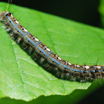 How to deal with the processionary moth caterpillars infesting your garden